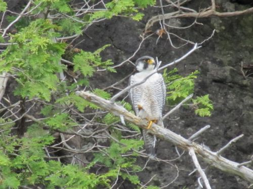 VTF&W photo by C.P. Merrill:   At least 37 pairs of peregrine falcons nested in Vermont this year, with at least 27 pairs successfully producing 50 or more young.