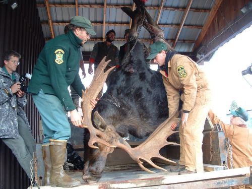 VT Fish & Wildlife photo:   Hunters who get a moose during Vermont's October 18-23 hunting season are required to take it to one of five check stations so biologists can weigh it and gather biological information.