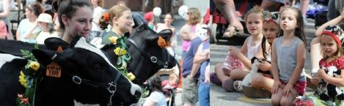 The 14th annual Strolling of the Heifers Weekend Brattleboro Vermont