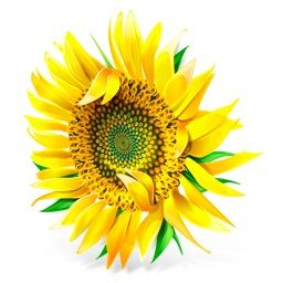 SUNZILLA RETURNS!  The 25th Anniversary of the Sunflower-Growing Contest Comes to Rusty Parker on the 13th! Waterbury Vermont